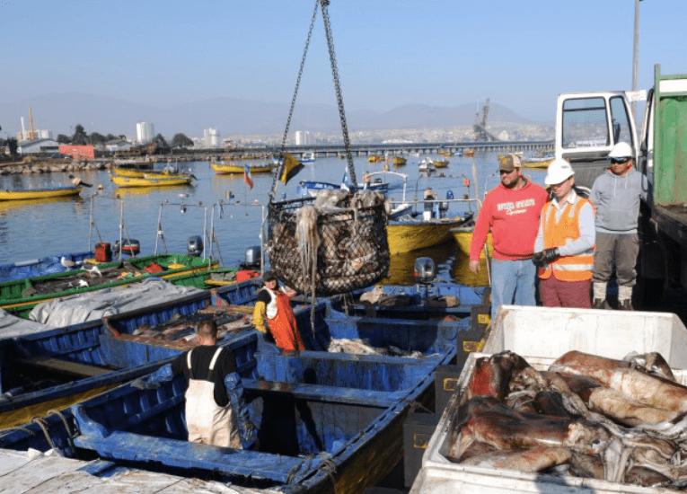 La sorpresa de la temporada: Regresa la jibia a las costas chilenas