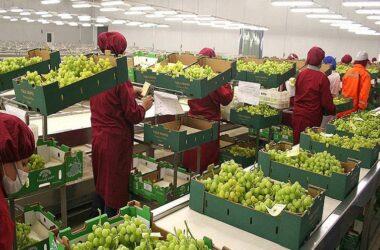 La producción de uva peruana alcanzó las 109.350 toneladas en febrero de este año.